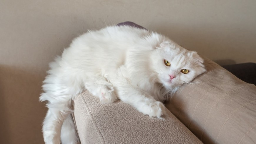 Белый кот,кот, кошка, ,кот, кошка,