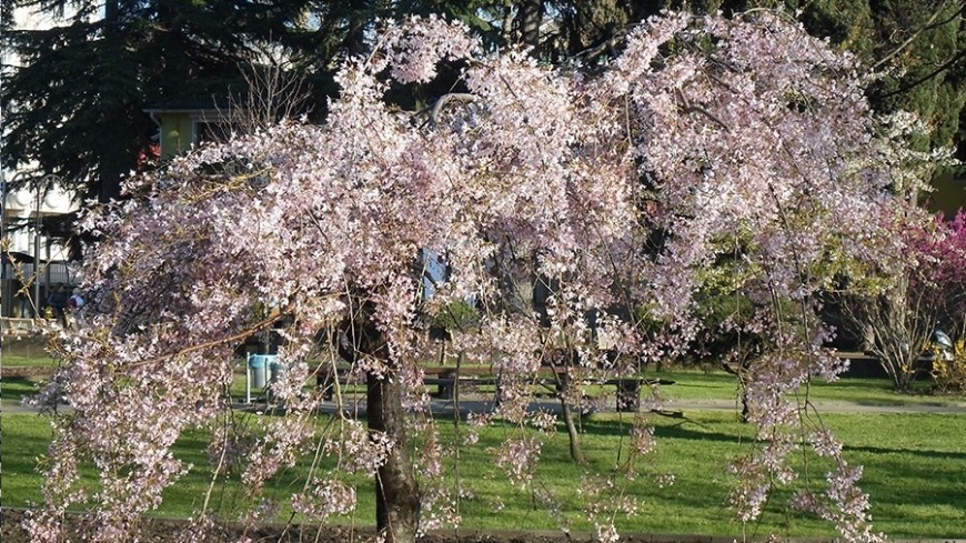 "© Фото: Елизавета Шагалова, ""МТРК «Мир»"":http://mir24.tv/, весна, сакура, цветет, цветущее дерево"