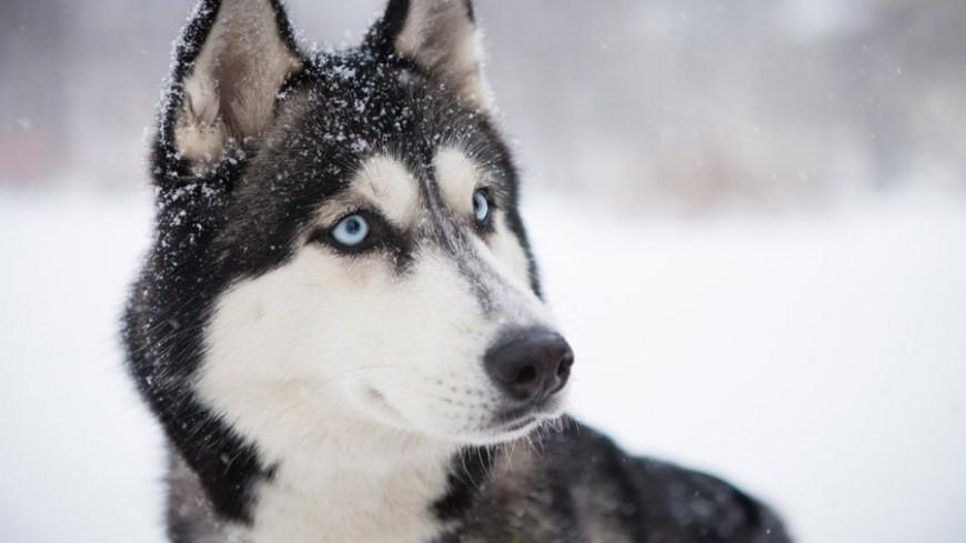 "Фото: Елизавета Шагалова, ""«МИР 24»"":http://mir24.tv/, собака, хаски"