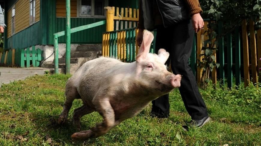 Деревня Вишнево, родина Шимона Переса, свинья, шимон перес, вишнево, сельский пейзаж, село, поросенок, хряк