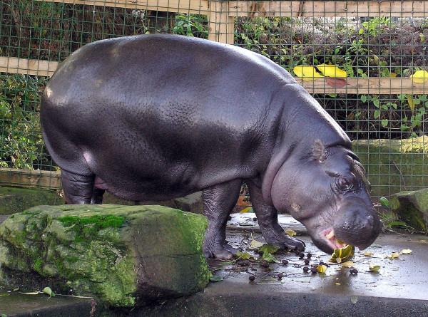 Карликового бегемота Ксюшу перевели в открытый вольер Московского зоопарка