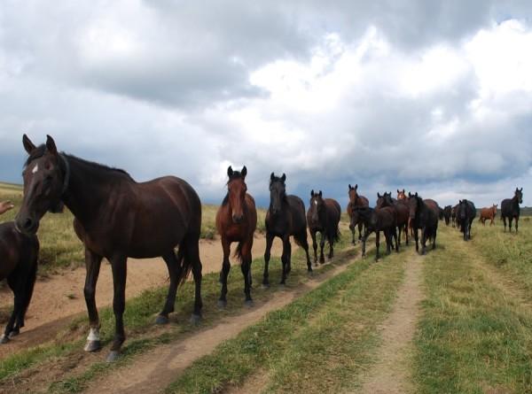 Одомашнивание лошадей привело к потере генетического разнообразия