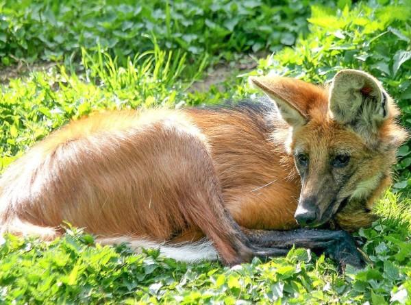 В Московском зоопарке поселился редкий гривистый волк