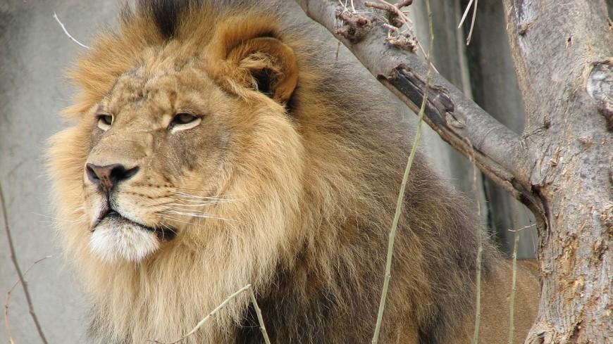 Названа главная причина превращения львов в людоедов