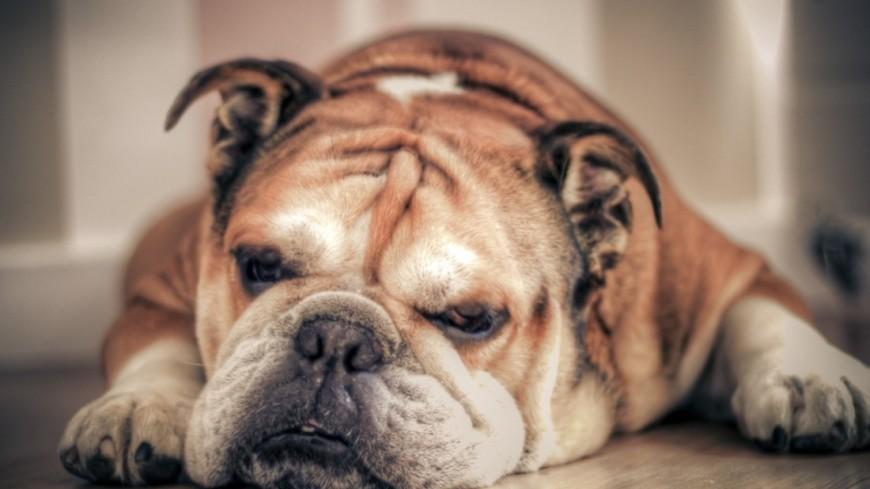 Ученые выяснили причину проблем с дыханием у некоторых пород собак