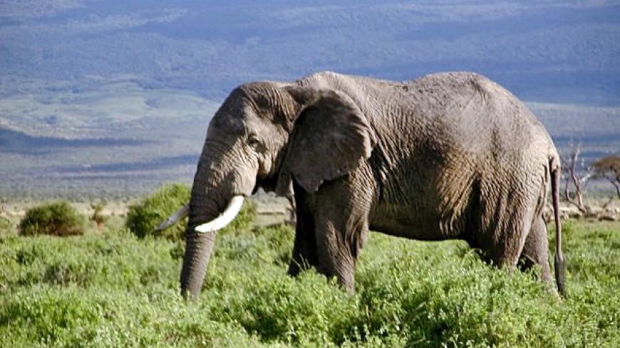 Браконьерские нападения на африканских слонов сократились на 60%