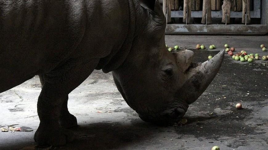 В зоопарке Чикаго родился редкий черный носорог