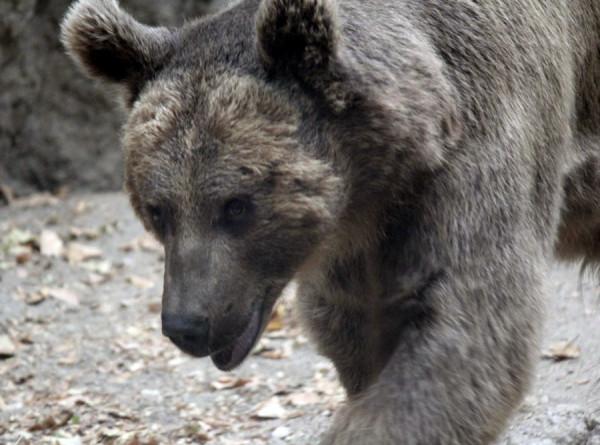 Плохие соседи: голодные медведи держат в страхе румынские села