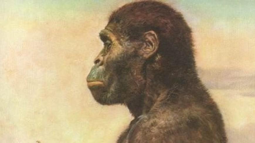 Австралопитеки оказались глупее горилл и шимпанзе