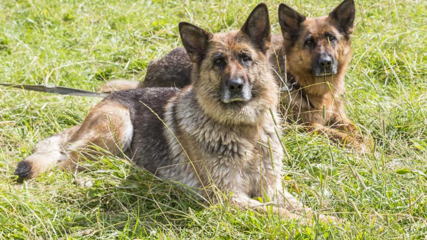 «Спасти Москву»: «МИР» снял уникальный фильм о подвиге отряда Старчака,собака, овчарка, охрана, защита, ,собака, овчарка, охрана, защита,