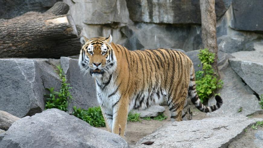 В Приморье мужчина выжил после нападения тигра