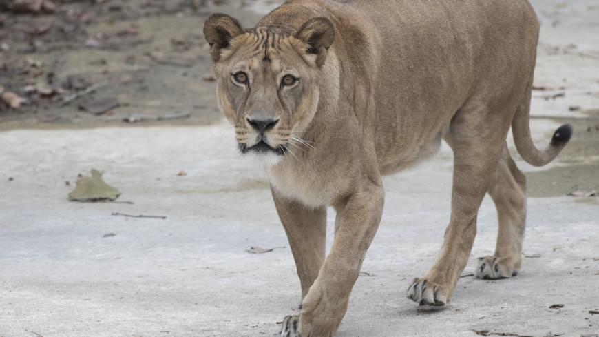 Львица вышла погулять на крышу дома в Эр-Рияде (ВИДЕО)