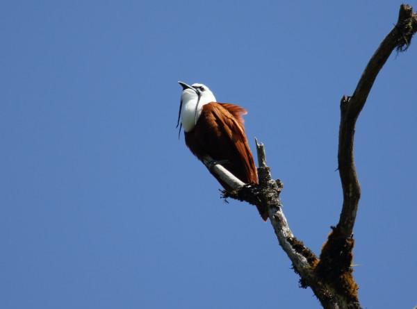 Самую громкую птицу в мире нашли в Бразилии