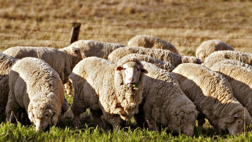 В Австралии умерла самая пушистая овца в мире