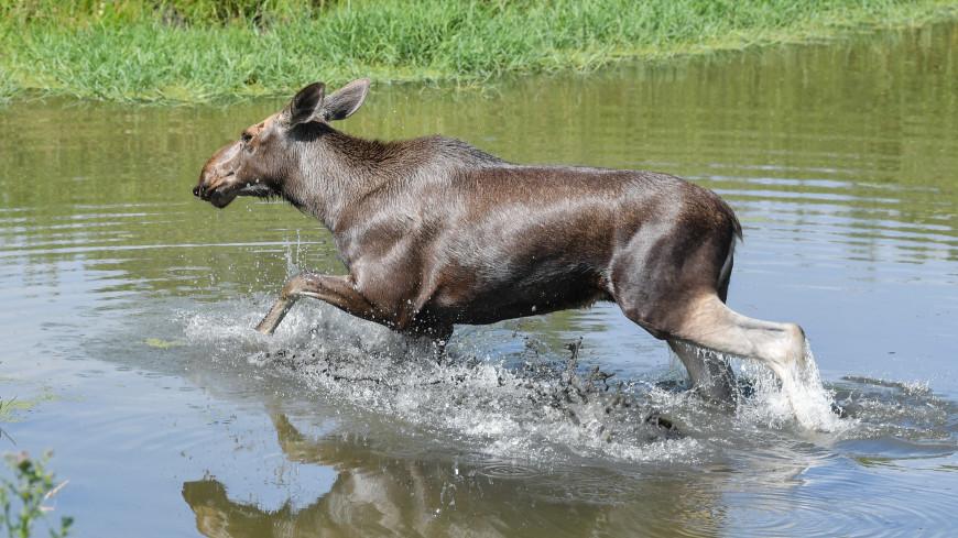 В США спасли молодого лося, угодившего в бассейн