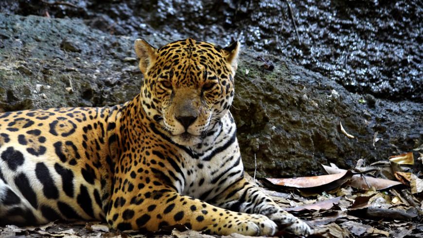 Ягуар одним прыжком расправился с кайманом