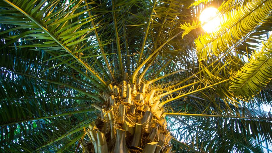 """""""Фото: Максим Кулачков (МТРК «Мир»)"""":http://mir24.tv/, пальма, цветы, растения, флора, зелень"""