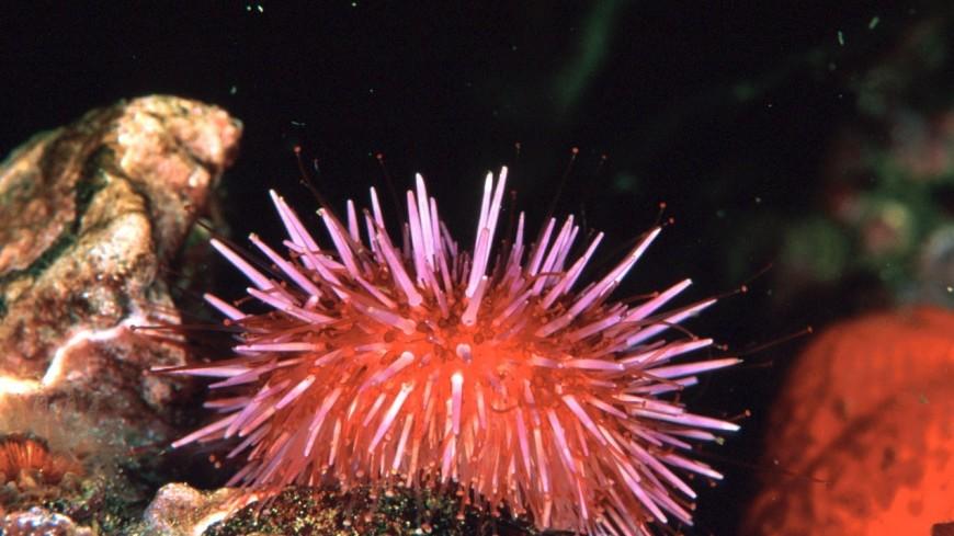 Могут есть камни: раскрыты впечатляющие особенности морских ежей