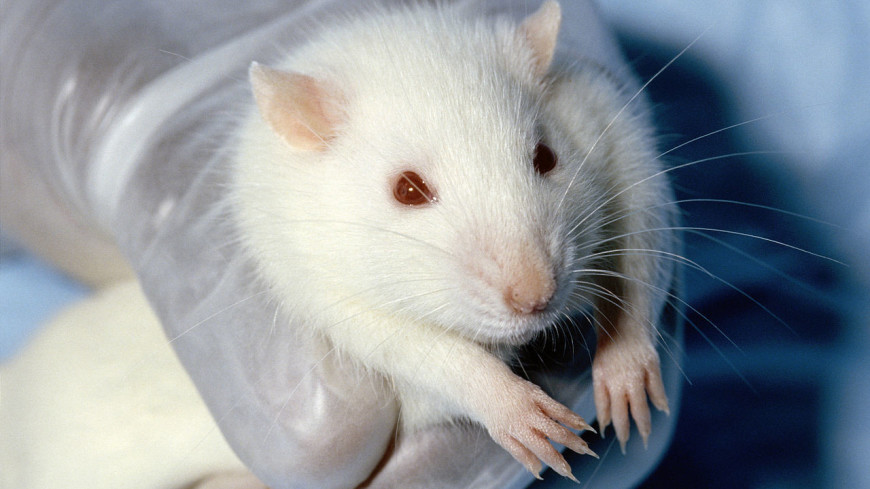 Крысы оказались способны к групповым играм ради удовольствия
