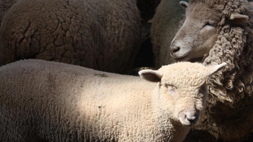 Убил одним видом: в Дагестане волк спровоцировал гибель отары овец