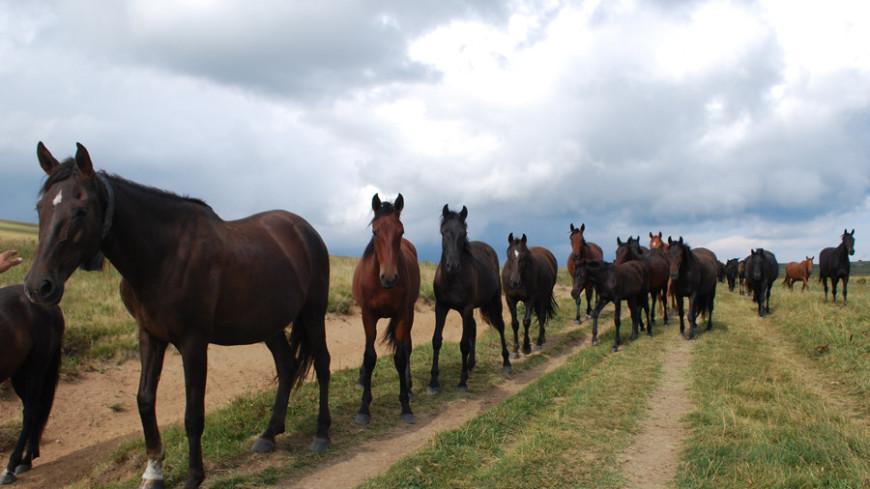 """Фото: Елизавета Шагалова, """"«МИР 24»"""":http://mir24.tv/, стадо, лошадь, лошади, кони, конь, поле с лошадьми, стадо лошадей"""
