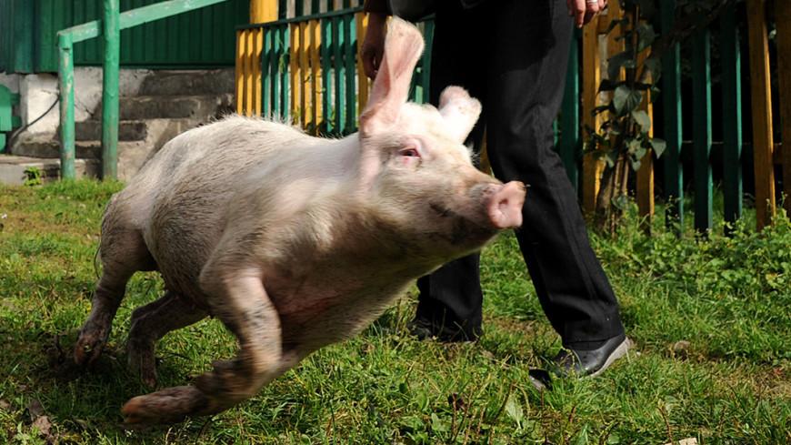 На работу во ФСИН могут начать брать свиней