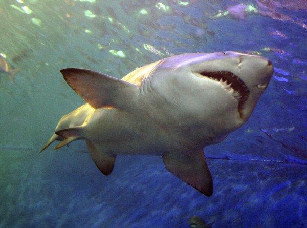 Ученые выяснили, что серые рифовые акулы умеют дружить