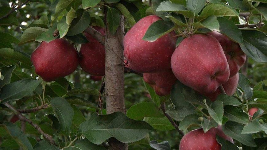 Ароматные витамины: яблочные рекорды и сады Кабардино-Балкарии