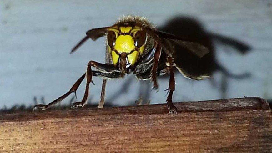 Оса, осы, насекомые, оса
