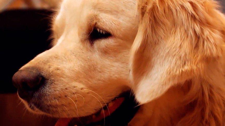 """Скриншот: """"«МИР 24»"""":http://mir24.tv/, золотистый ретривер, собака"""