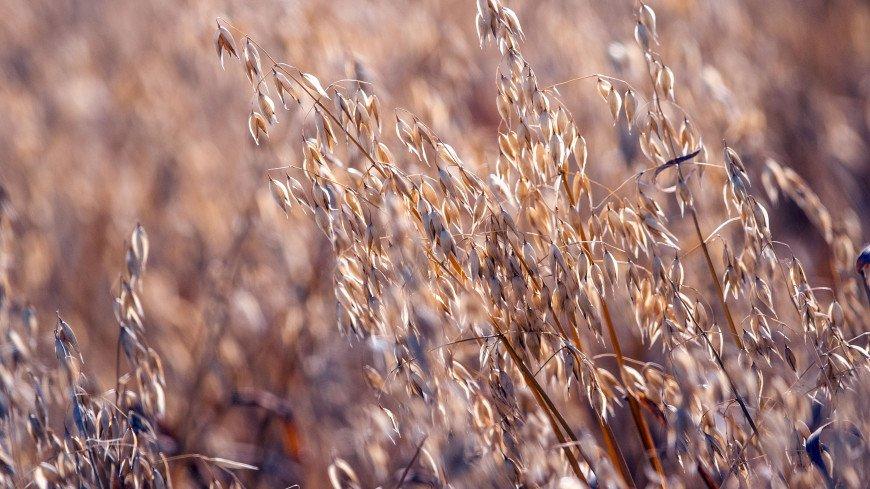 В Татарстане собрали уже свыше двух миллионов тонн зерна