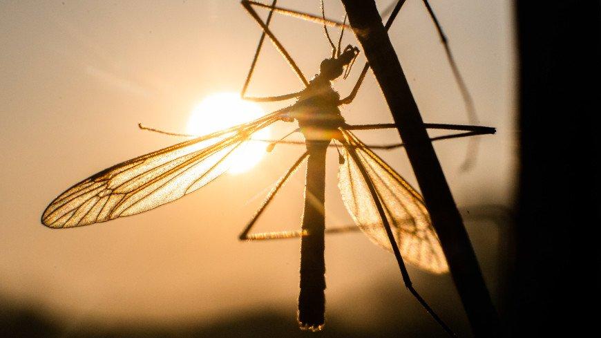 Альтернатива инсектицидам: во Флориде выпустят в природу 750 млн ГМ-комаров