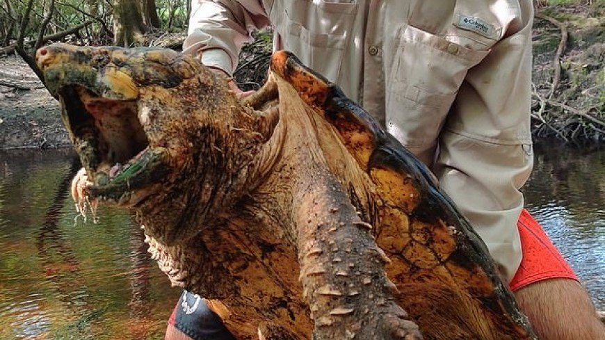 Во флоридской реке нашли «динозавров мира черепах»