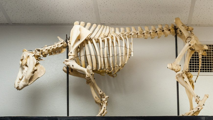 Мастер-класс и экскурсия в патологоанатомический музей АТИ РУДН,скелет, раскопки, динозавр, палеонтология, кости, кость, череп, ,скелет, раскопки, динозавр, палеонтология, кости, кость, череп,