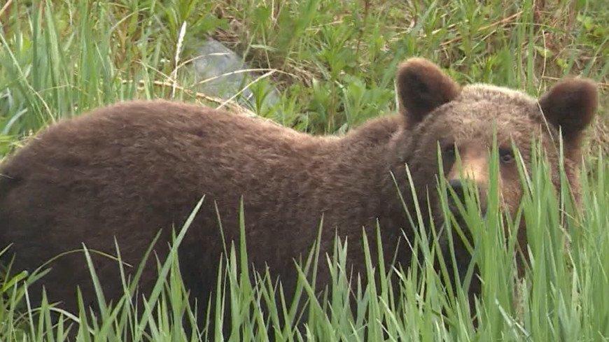 Медведи атакуют: хищники стали выходить в города