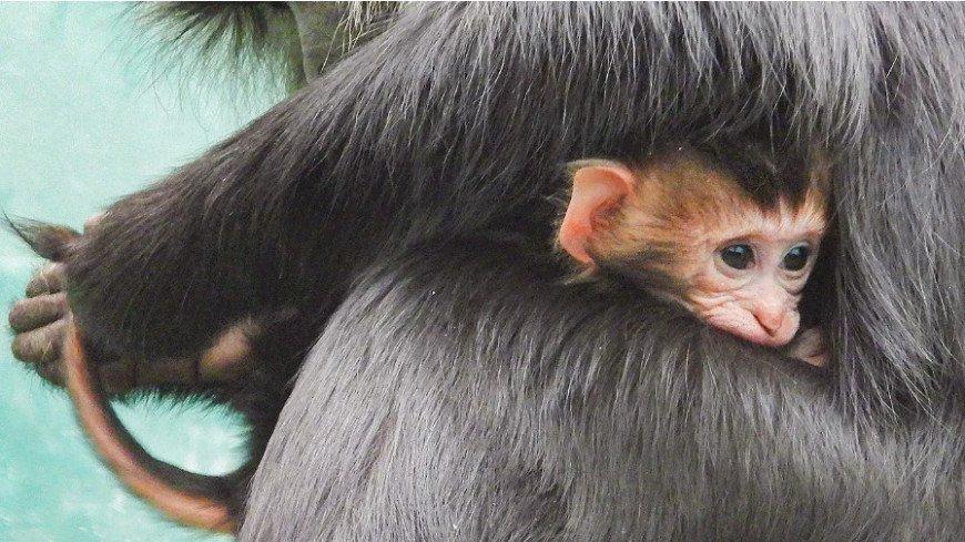 В Московском зоопарке родился детеныш редкой львинохвостой макаки