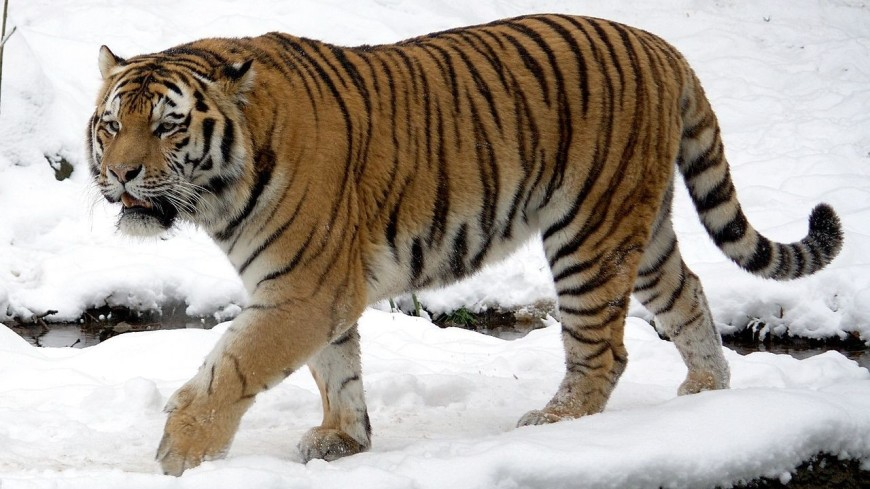 На улицах якутского Нерюргри заметили амурского тигра