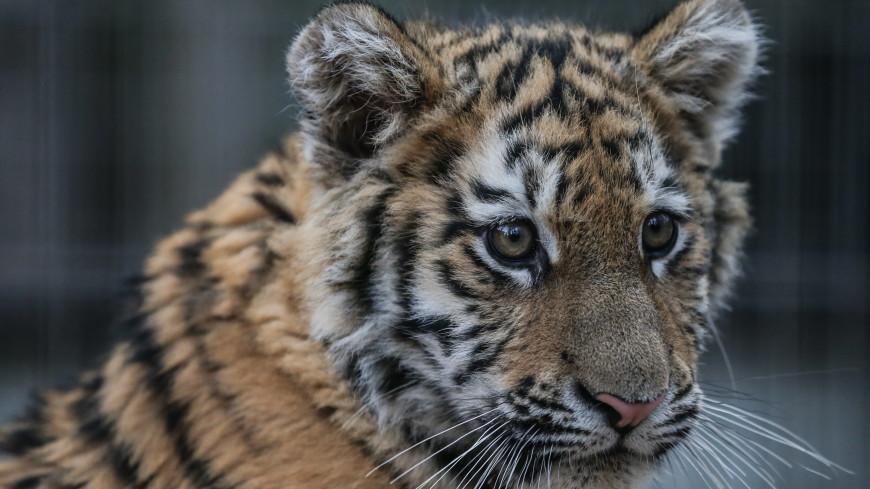 В Приморье врачи спасли тигренка, на которого напал взрослый зверь