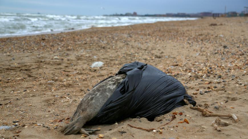 Росрыболовство: Основные версии гибели тюленей в Дагестане связаны с природными факторами