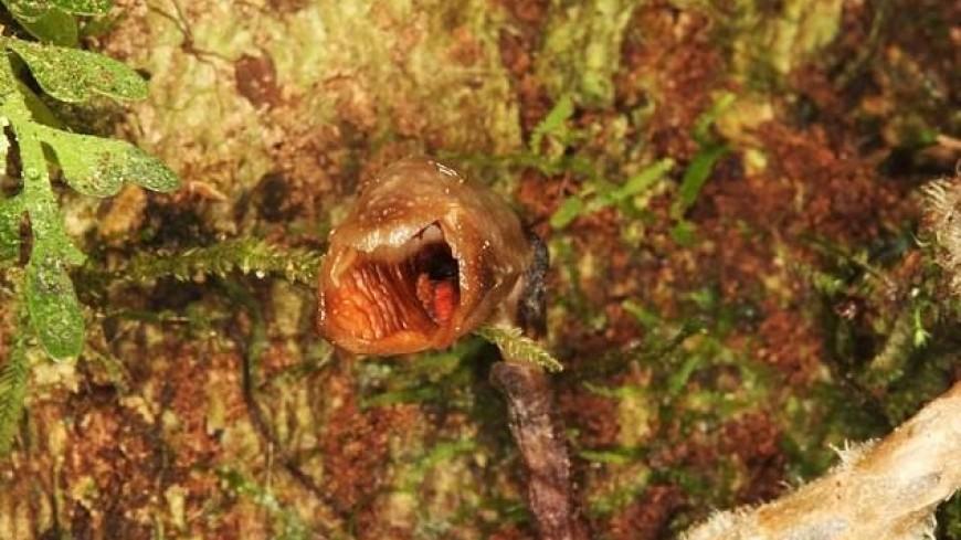 В лесах Мадагаскара нашли самую уродливую орхидею в мире