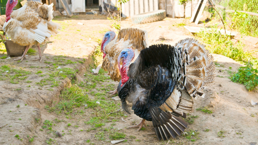 индейка, домашняя птица, хозяйство, ферма, домашнее хозяйство, животноводство, деревня, село, птица,