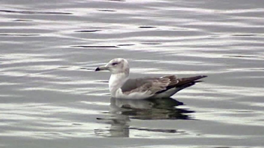 """чайка Фото: """"МТРК «Мир»"""":http://mirtv.ru/, птица, чайка, птицы"""