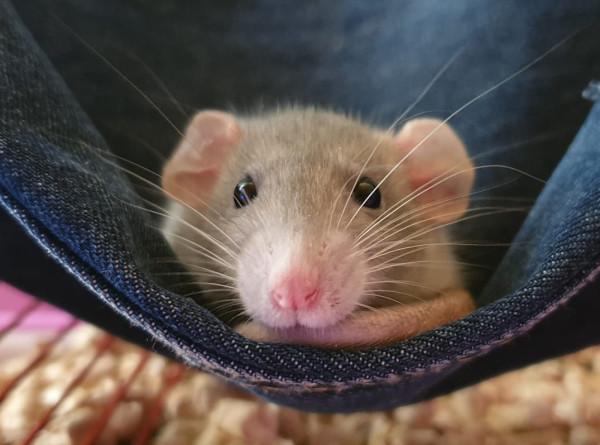 Крысы-диагносты, следы динозавра и боевая саранча: самые странные новости науки за неделю