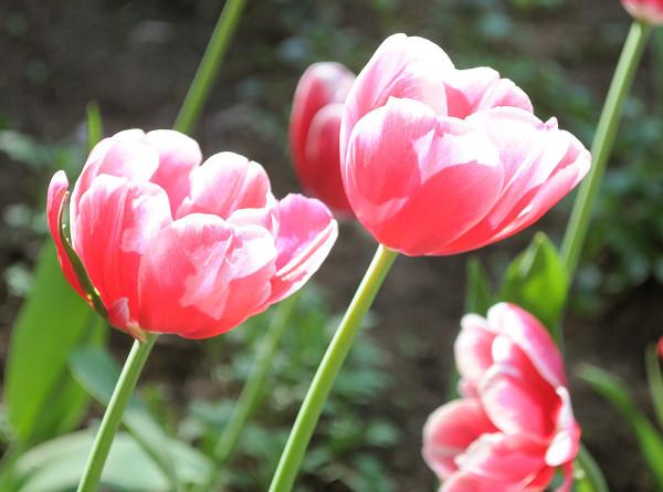 Сибирские тюльпаны: пенсионер из Иркутска выращивает цветы 40 лет