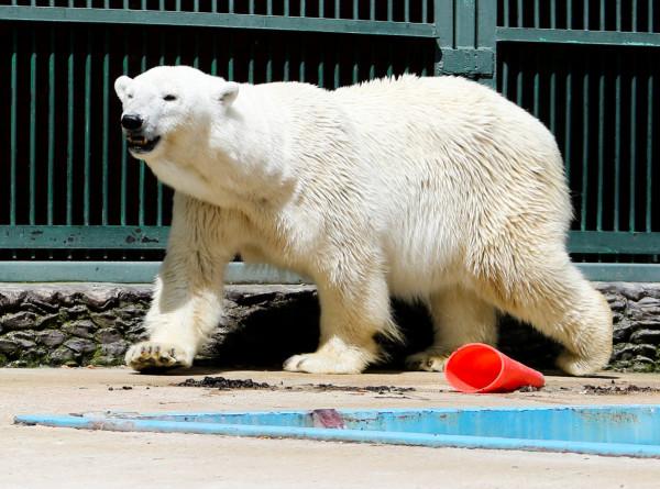 Символ Арктики: 27 февраля – Международный день полярного медведя