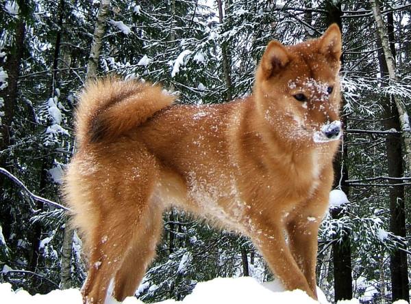 Карельская лайка: в России утвердили новую породу собак