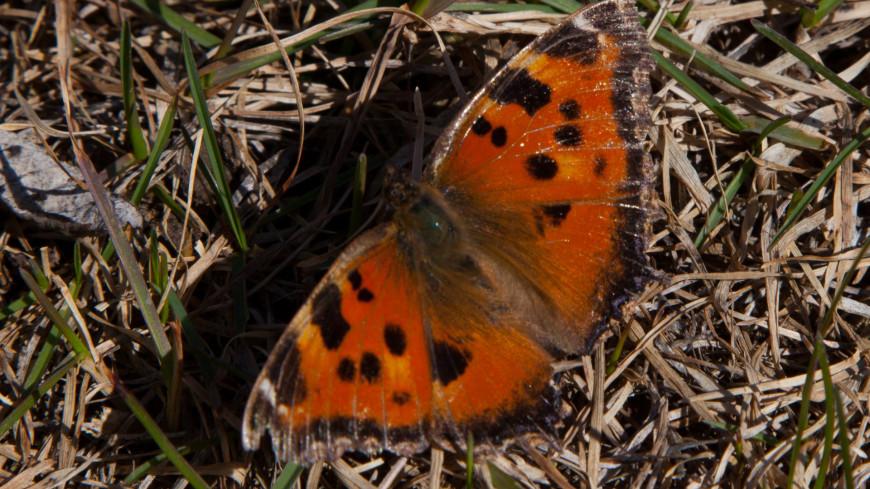 Бабочка,бабочка, весна, насекомое, ,бабочка, весна, насекомое,