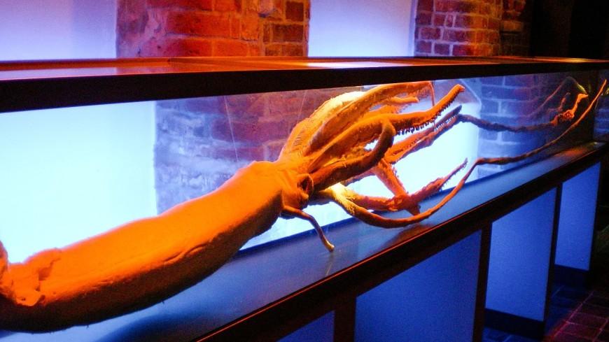 Геном гигантского кальмара впервые удалось расшифровать