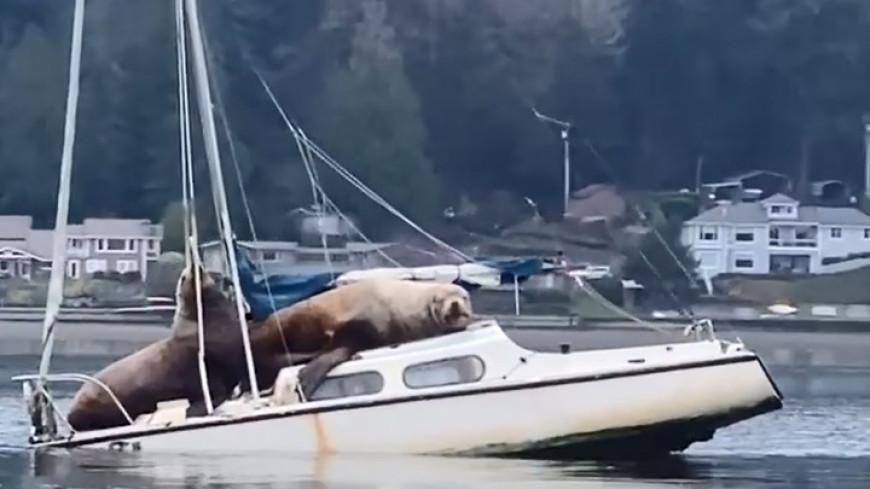 Ластоногие пираты: морские львы взяли на абордаж и утопили яхту