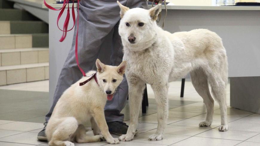 Клонированная якутская лайка родила семерых щенят
